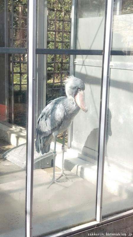 上野動物園ハシビロコウ