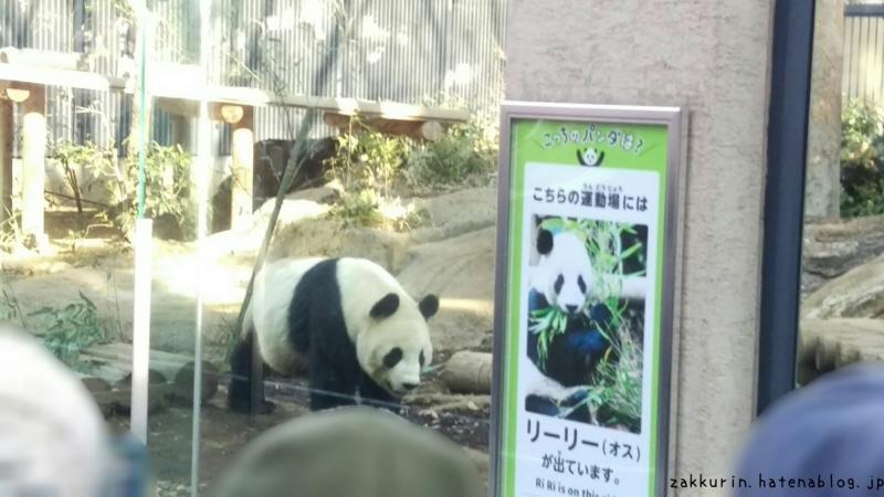 上野動物園ジャイアントパンダリーリー