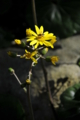 ツワブキの咲く午後