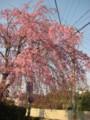 [flower]桜 宝塚