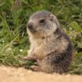 [cute]marmot