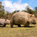 [cute]Wombat