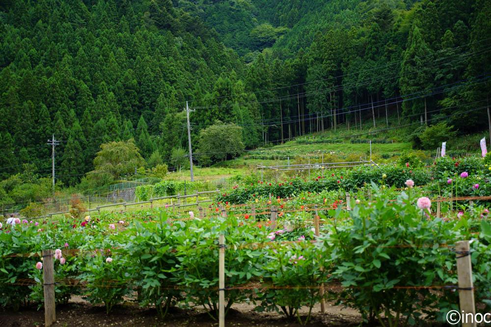 両神山麓 花の郷 ダリア園 展望