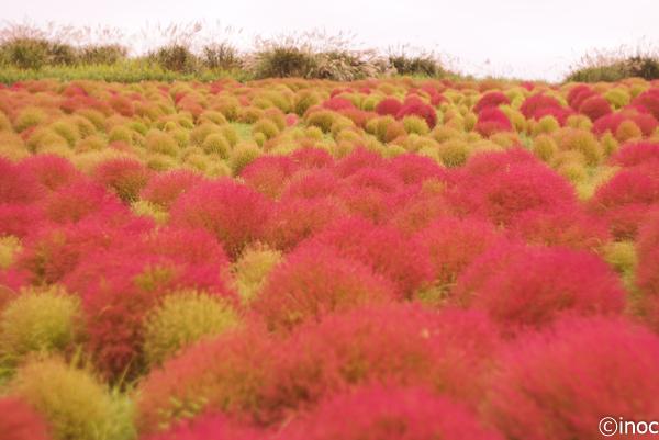 コキア 10月上旬 紅葉はじめ