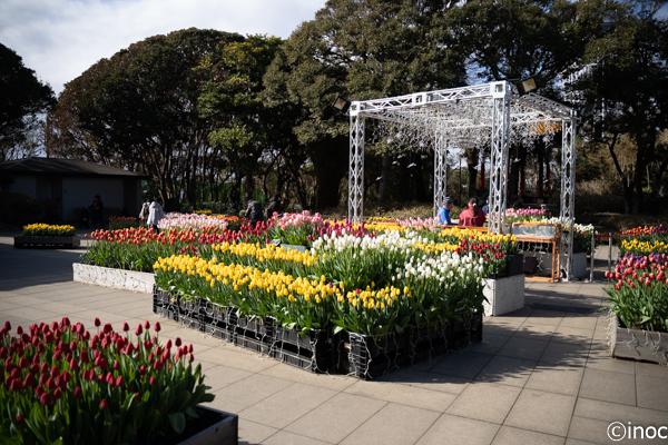 チューリップの花の高さがちょうどいい