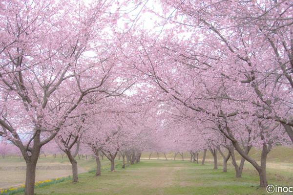 北浅羽安行寒桜