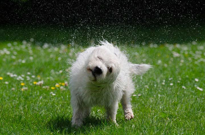 体を振って水滴を飛ばす犬