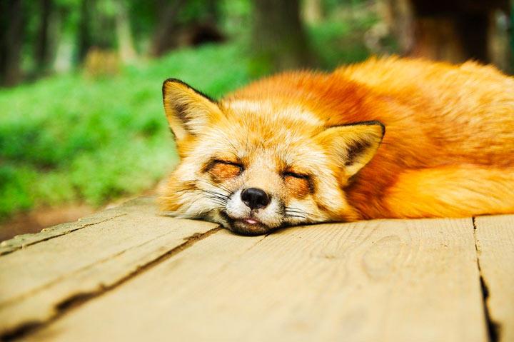 日なたで幸せそうに寝ている狐