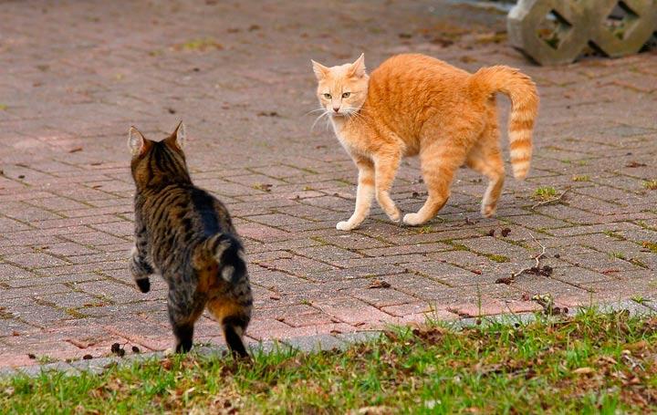 猫同士の対峙、威嚇