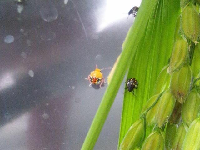 f:id:insectmania:20200830182017j:plain