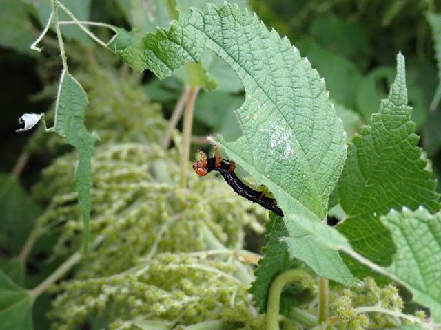 f:id:insectmania:20200927190938j:plain
