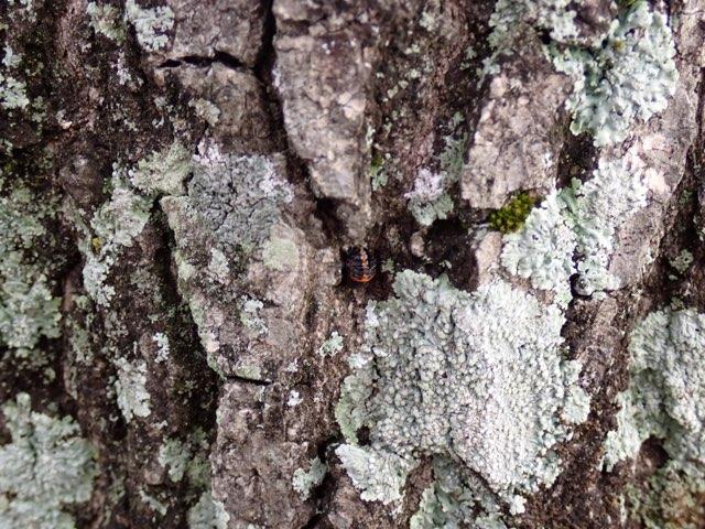 f:id:insectmania:20201231230943j:plain