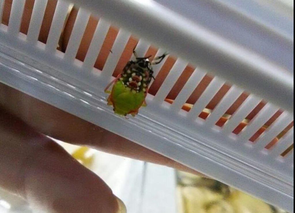 f:id:insectmania:20210214214525j:plain