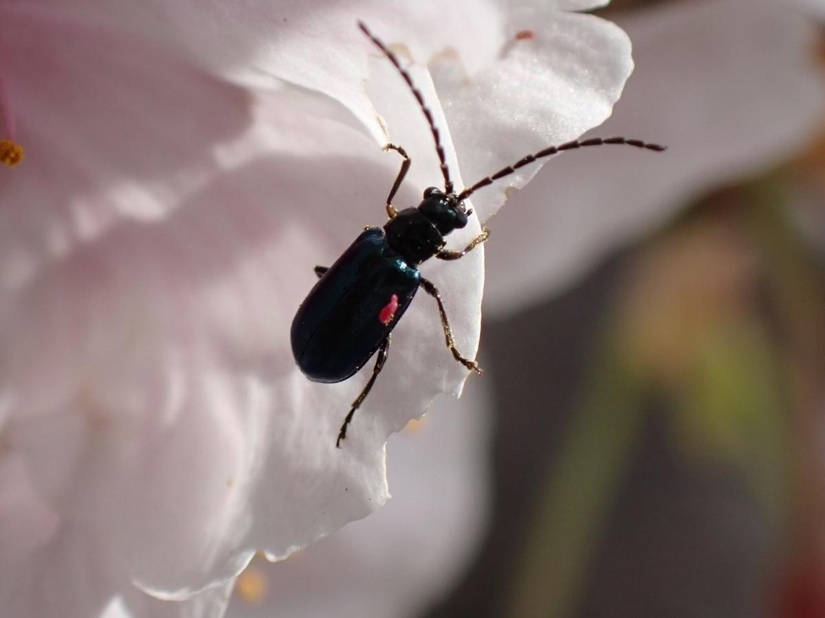 f:id:insectmania:20210328121109j:plain