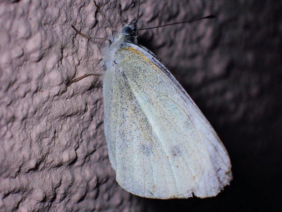 f:id:insectmania:20210502231829j:plain