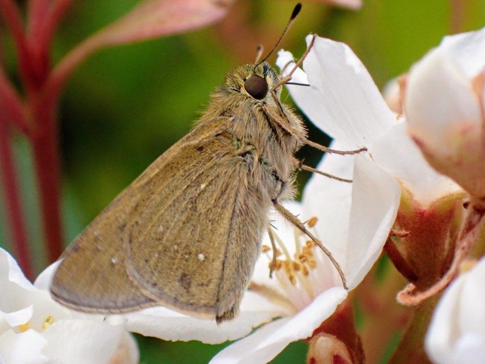 f:id:insectmania:20210502232537j:plain