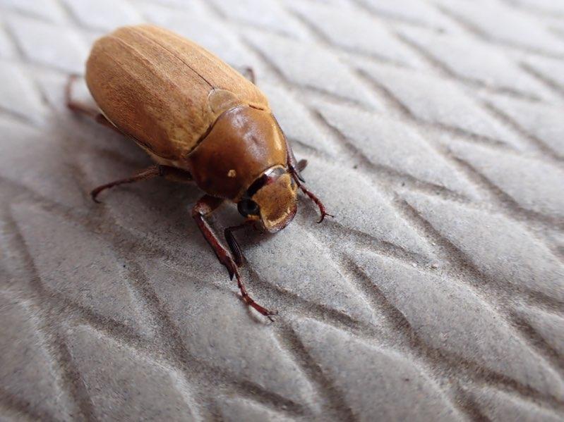 f:id:insectmania:20210616124824j:plain