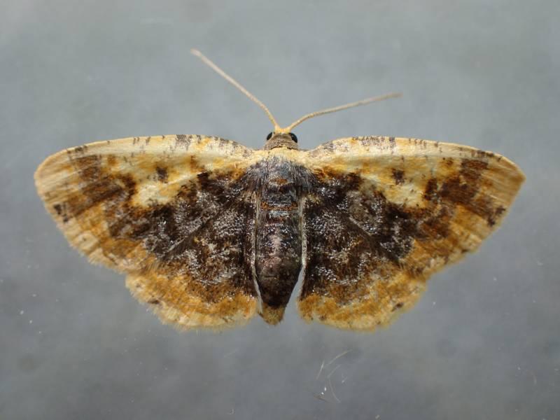 f:id:insectmoth:20170101172718j:plain
