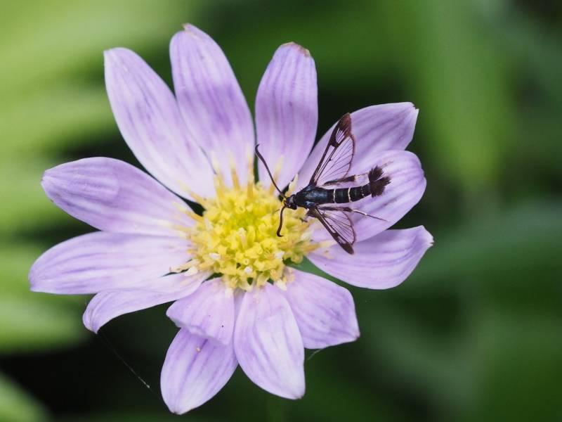 f:id:insectmoth:20170102003936j:plain