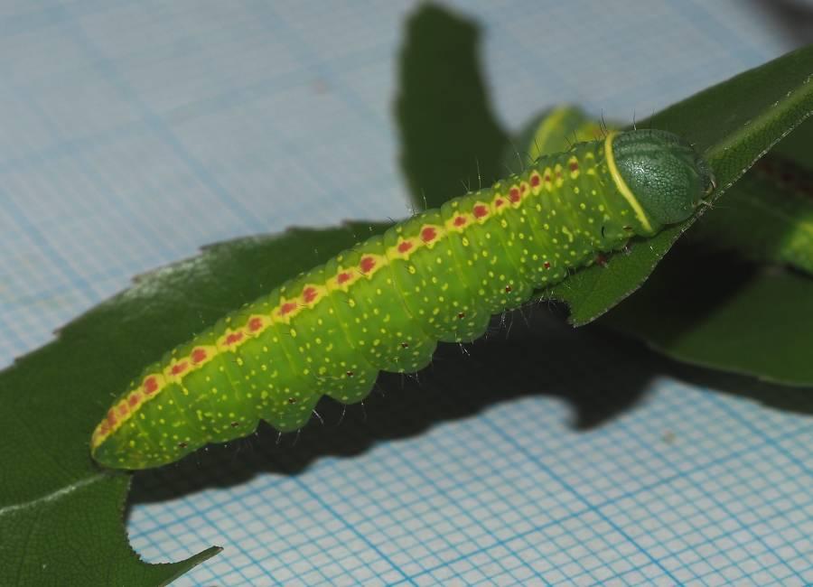 f:id:insectmoth:20170102130018j:plain
