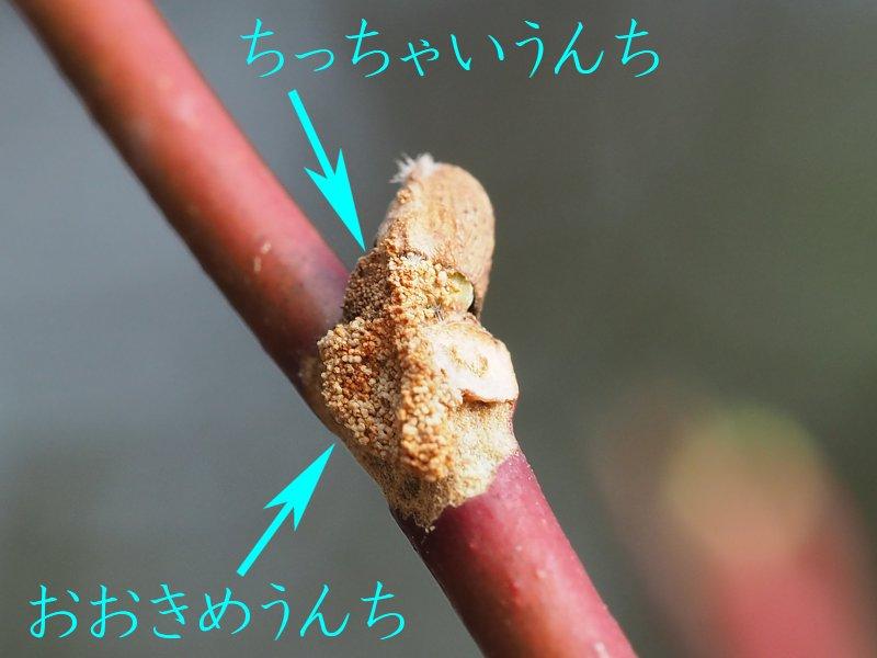 f:id:insectmoth:20170102151751j:plain