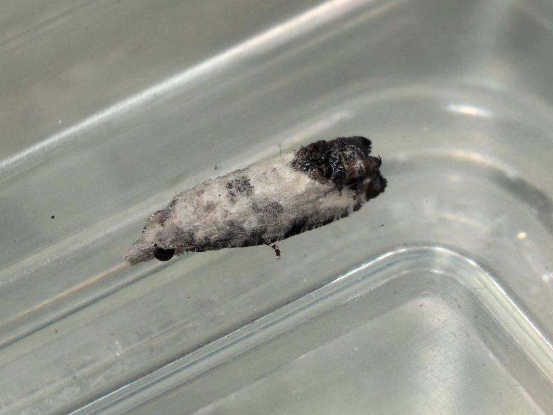 f:id:insectmoth:20170102152943j:plain