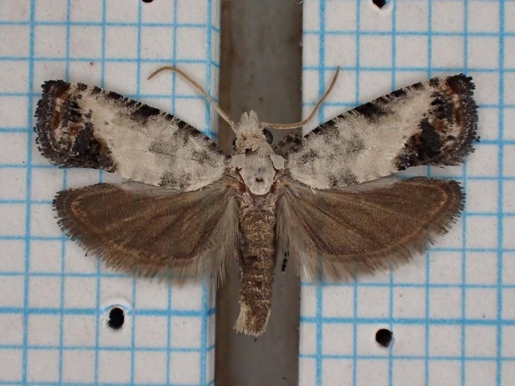 f:id:insectmoth:20170102153001j:plain