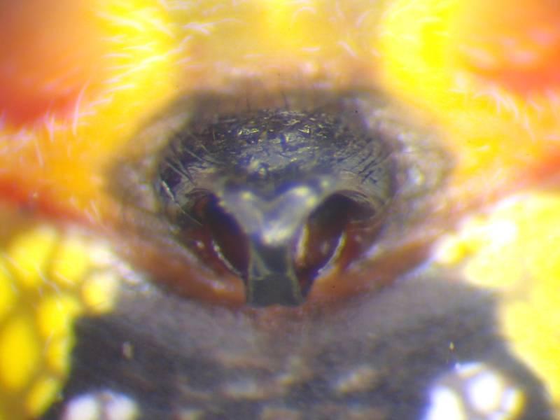 f:id:insectmoth:20170102162749j:plain