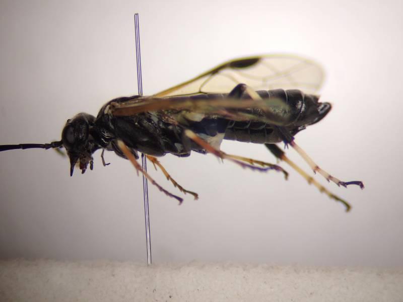 f:id:insectmoth:20170102164009j:plain