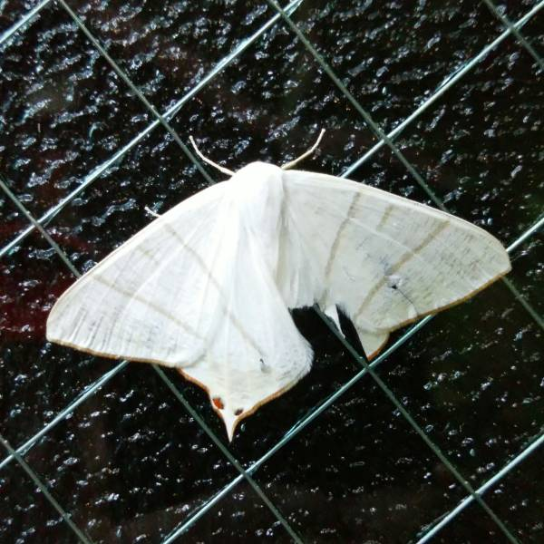 f:id:insectmoth:20170102185343j:plain