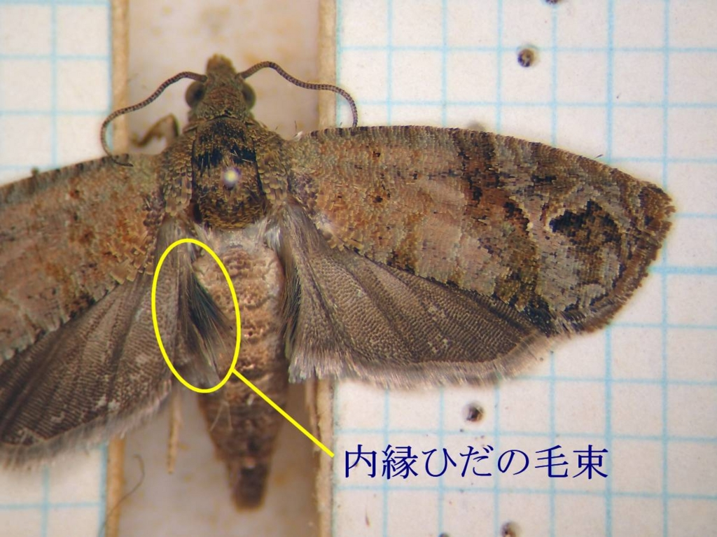 f:id:insectmoth:20170102190708j:plain