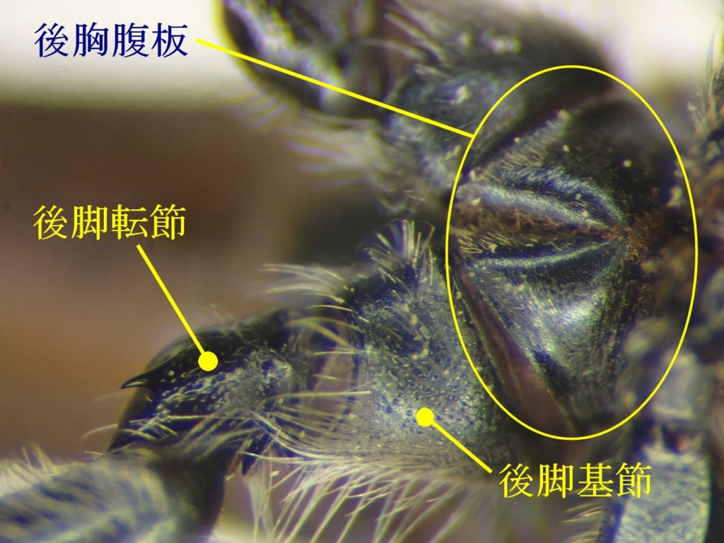 f:id:insectmoth:20170102190836j:plain