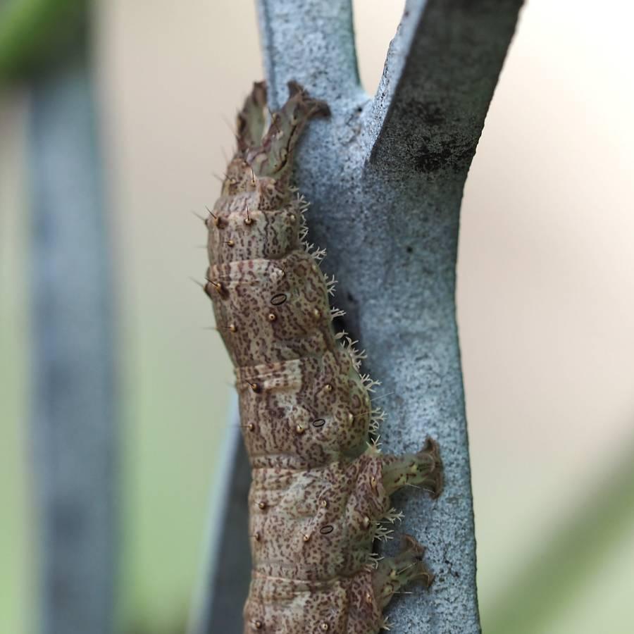 f:id:insectmoth:20170102192012j:plain