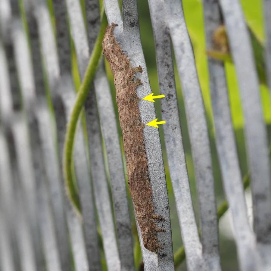 f:id:insectmoth:20170102192029j:plain