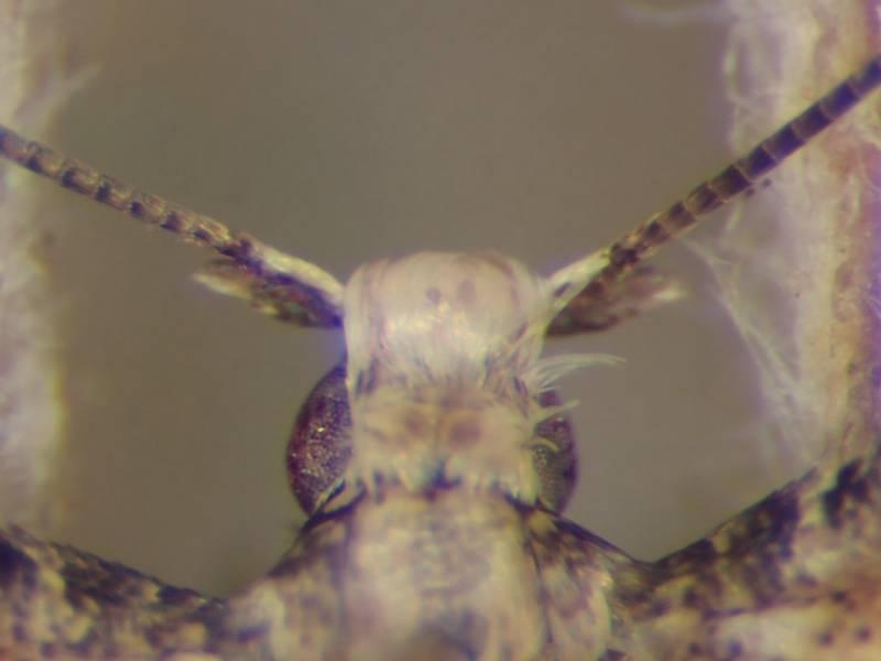 f:id:insectmoth:20170102192811j:plain