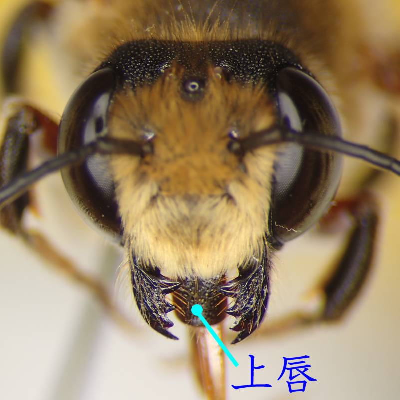f:id:insectmoth:20170102233609j:plain