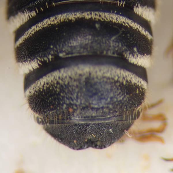 f:id:insectmoth:20170102233938j:plain