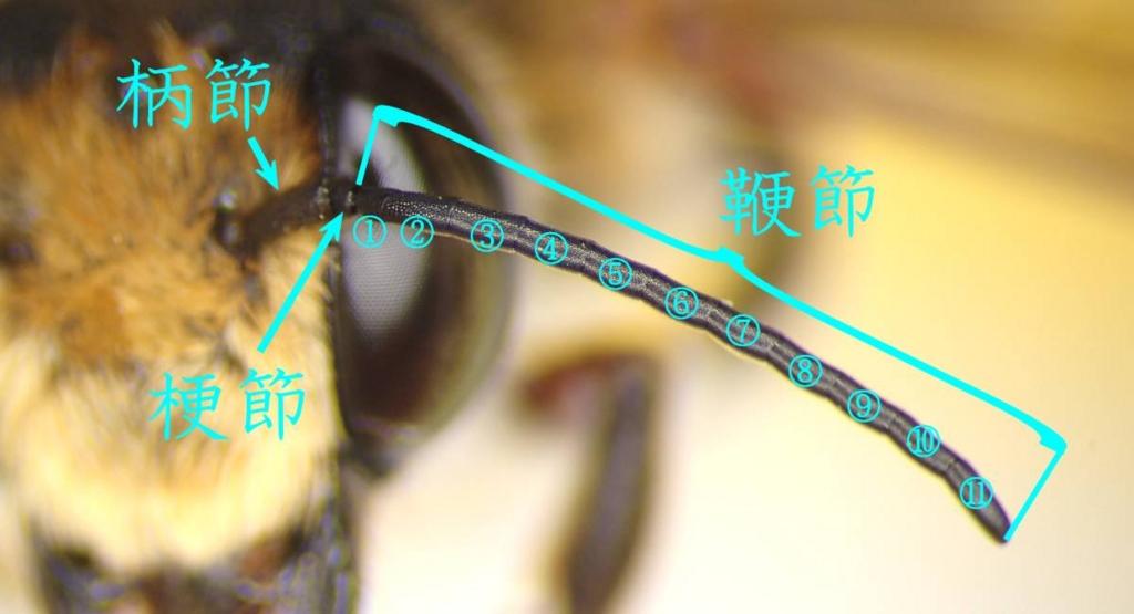 f:id:insectmoth:20170102234041j:plain