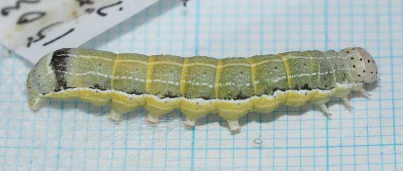 f:id:insectmoth:20170103005210j:plain