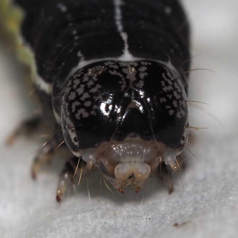 f:id:insectmoth:20170103005331j:plain