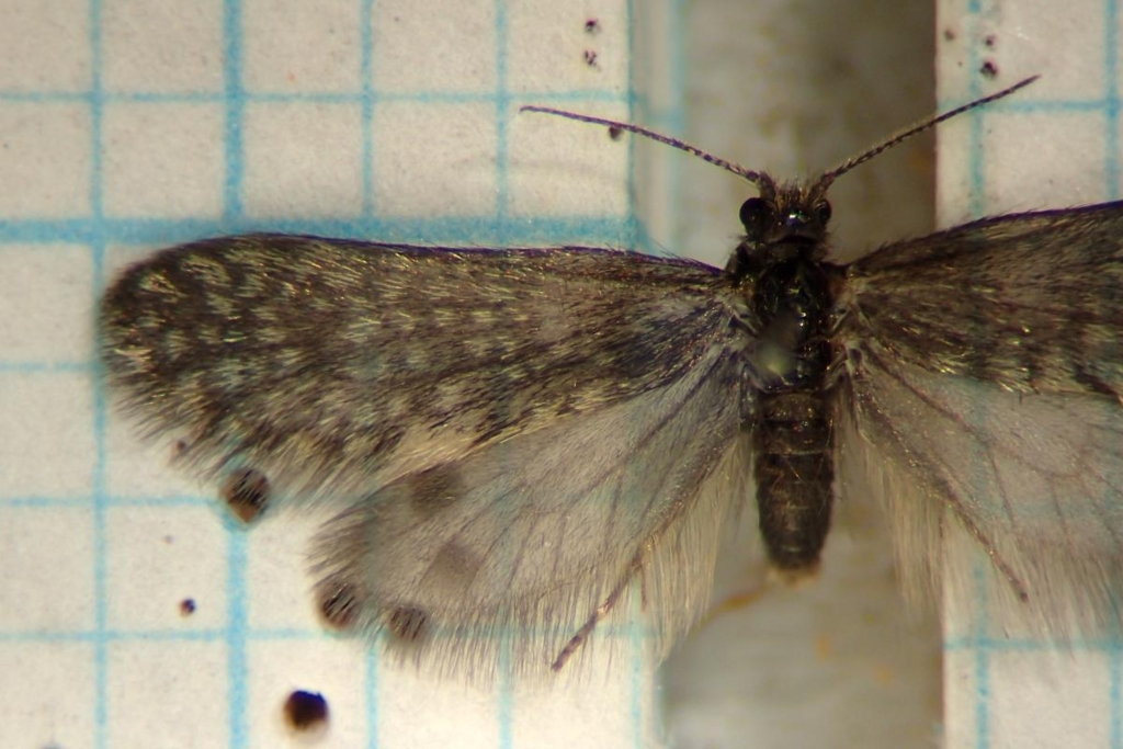 f:id:insectmoth:20170103011134j:plain