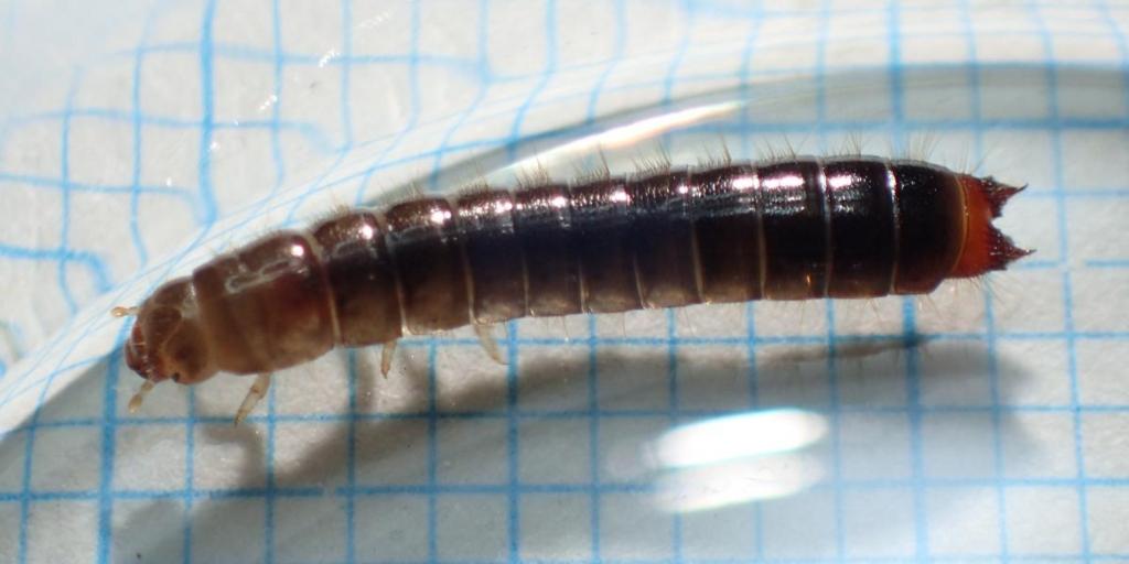 f:id:insectmoth:20170103012304j:plain