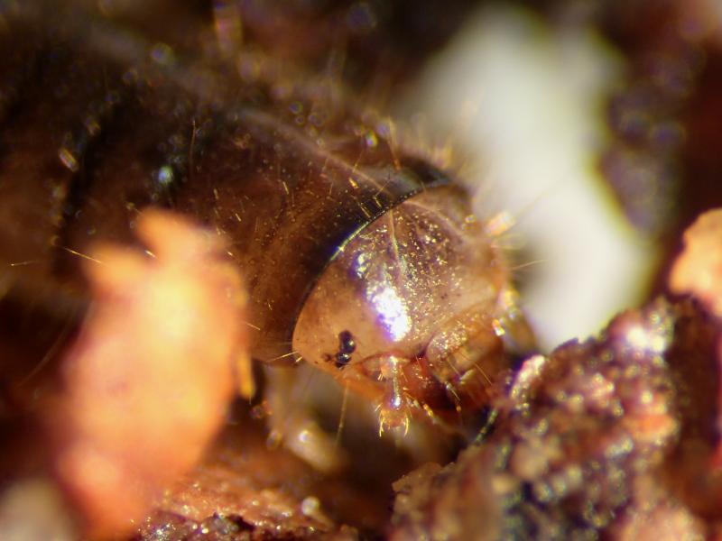 f:id:insectmoth:20170103012341j:plain