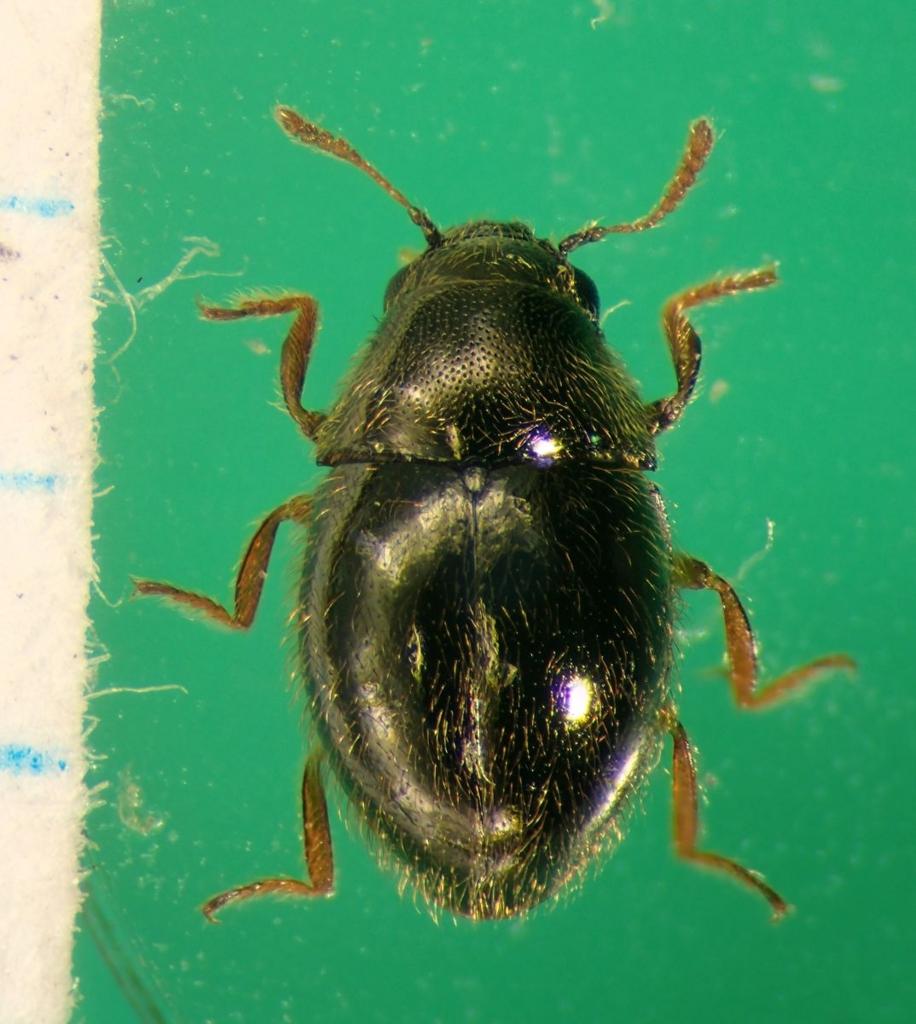 f:id:insectmoth:20170103033852j:plain