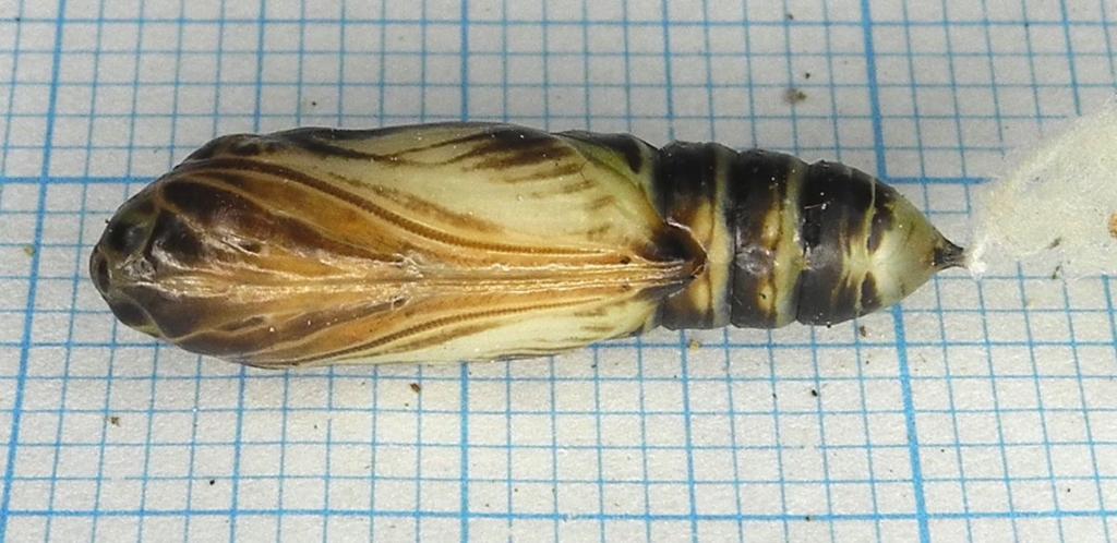 f:id:insectmoth:20170103181136j:plain