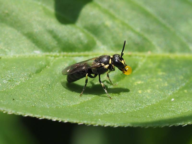 f:id:insectmoth:20170103181736j:plain
