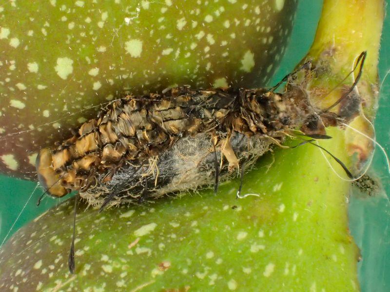 f:id:insectmoth:20170103182552j:plain