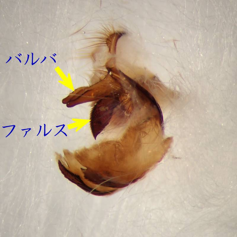 f:id:insectmoth:20170104232653j:plain