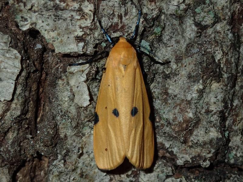 f:id:insectmoth:20170104233623j:plain
