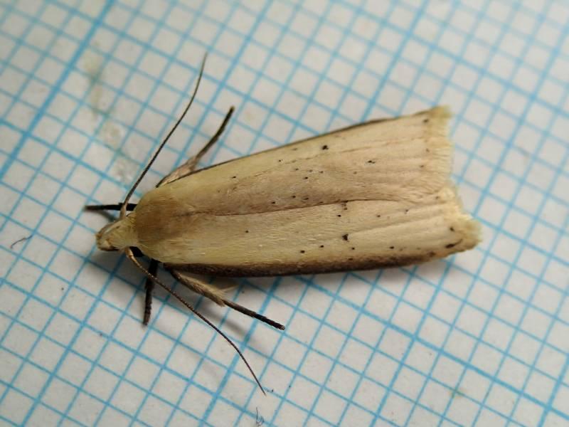 f:id:insectmoth:20170105004319j:plain